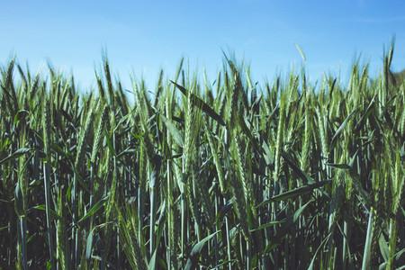 wheat  summer field  beautiful