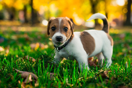 funny brown white puppy  mouth full of grass  Conception dog vegetarian