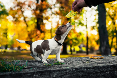 cute brown white puppy holds an autumn leaf in his mouth