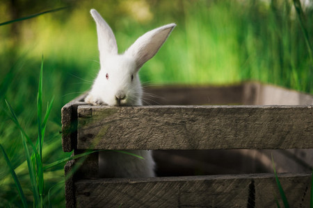 A small white rabbit peeks out of a wooden box in the garden against the backdrop of a bright grass