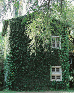 Old building house covered with green ivy plant