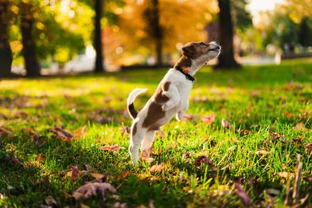Jumped little brown white puppy