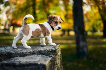 Cute little brown white puppy