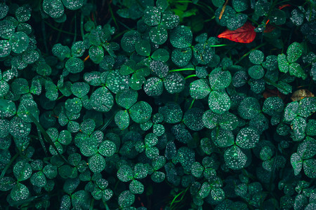 Beautiful green grass with sparkling raindrops and one red leaf in the dark background