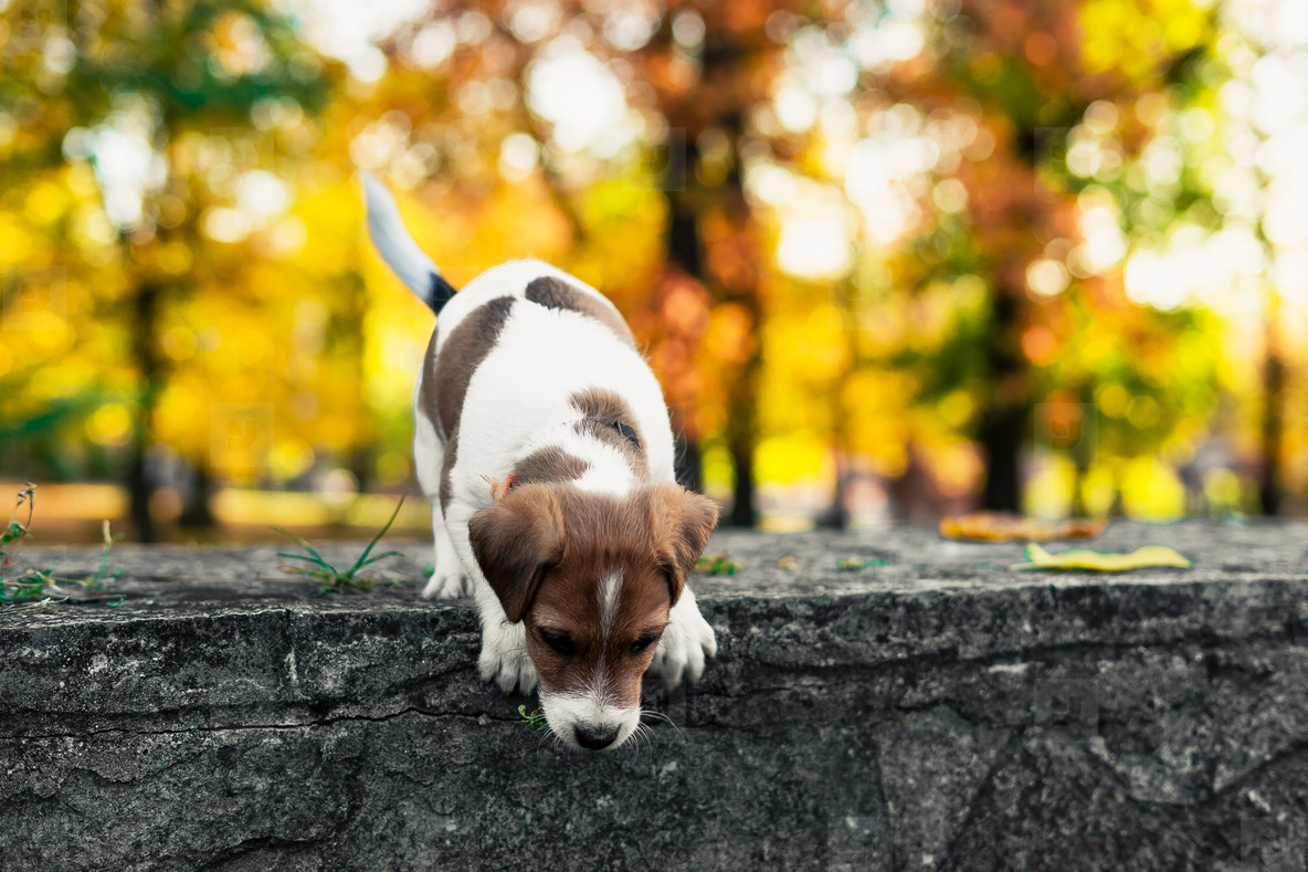 small brown white puppy wants to jump