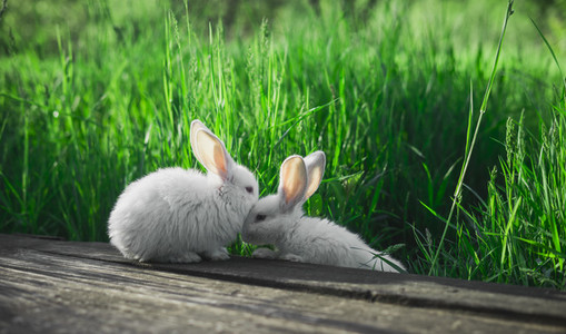 Two small white rabbits together  against a background of juicy grass