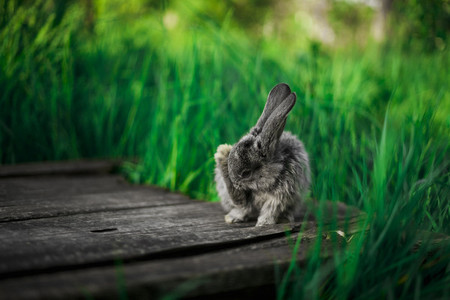 A small gray bunny is sitting on a wooden plank