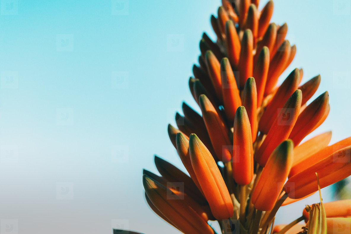 Close up of a cluster of buds of an aloe arborescens plant