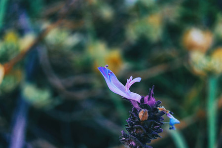Detail of a purple flower of salvia officinalis