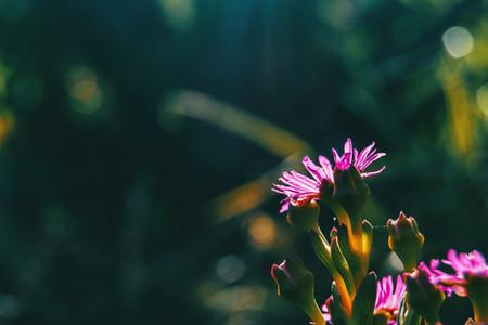 Detail of some purple flowers of delosperma cooperi on their backs