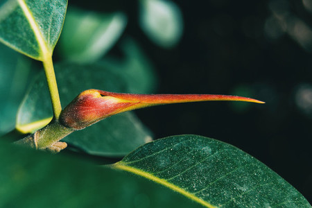 Macro of a reddish flower bud