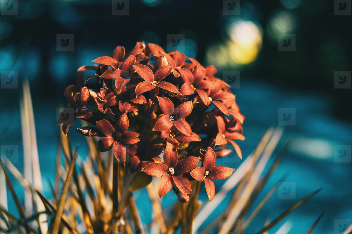 Close up of a bunch of red kalanchoe flowers