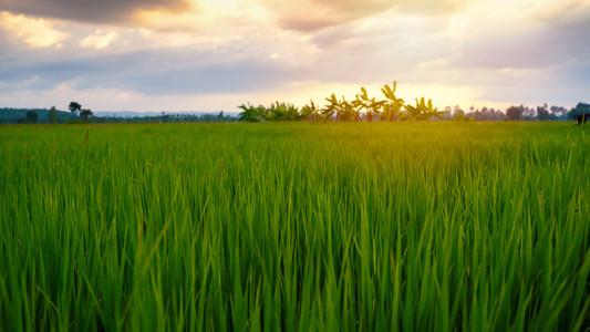 Beautiful paddy field rice with sunset