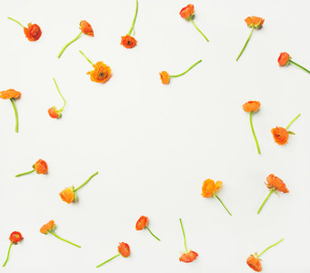 Flat lay of orange buttercup flowers over white background copy space