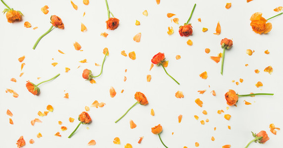 Flat lay of orange buttercup flowers over white background wide composition