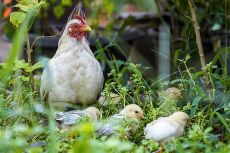 Mother hen with chicken