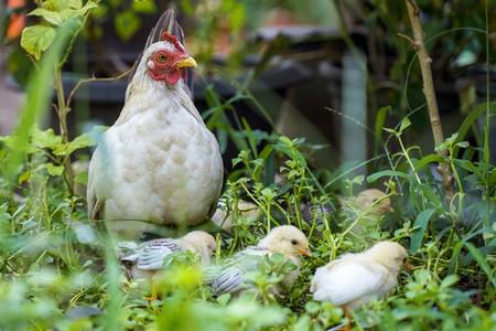 Mother hen with chicken