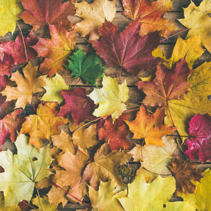 Flat lay of colorful fallen maple leaves square crop