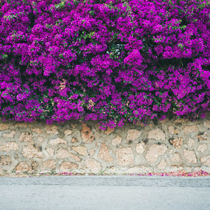 Wall covered with purple Bougainvillea