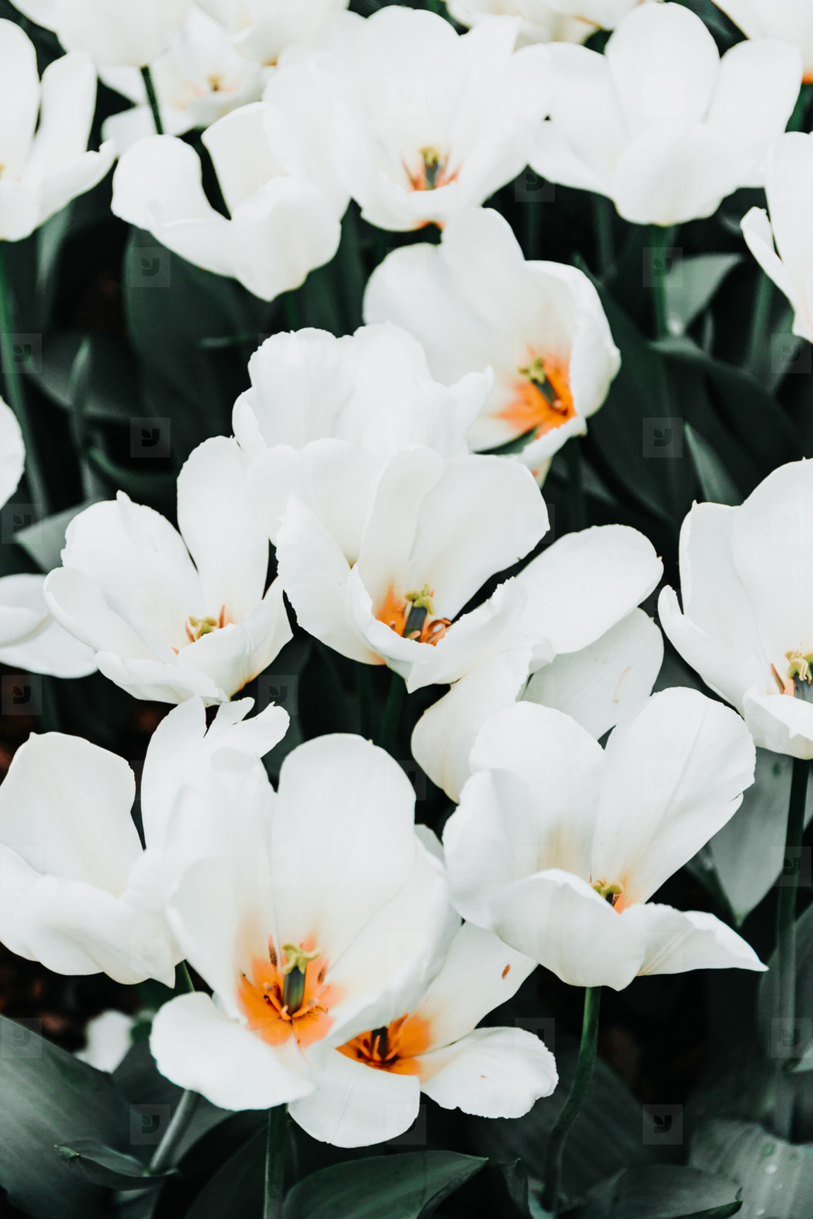 Photos - Beautiful white flowers on a summer m 173528 - YouWorkForThem