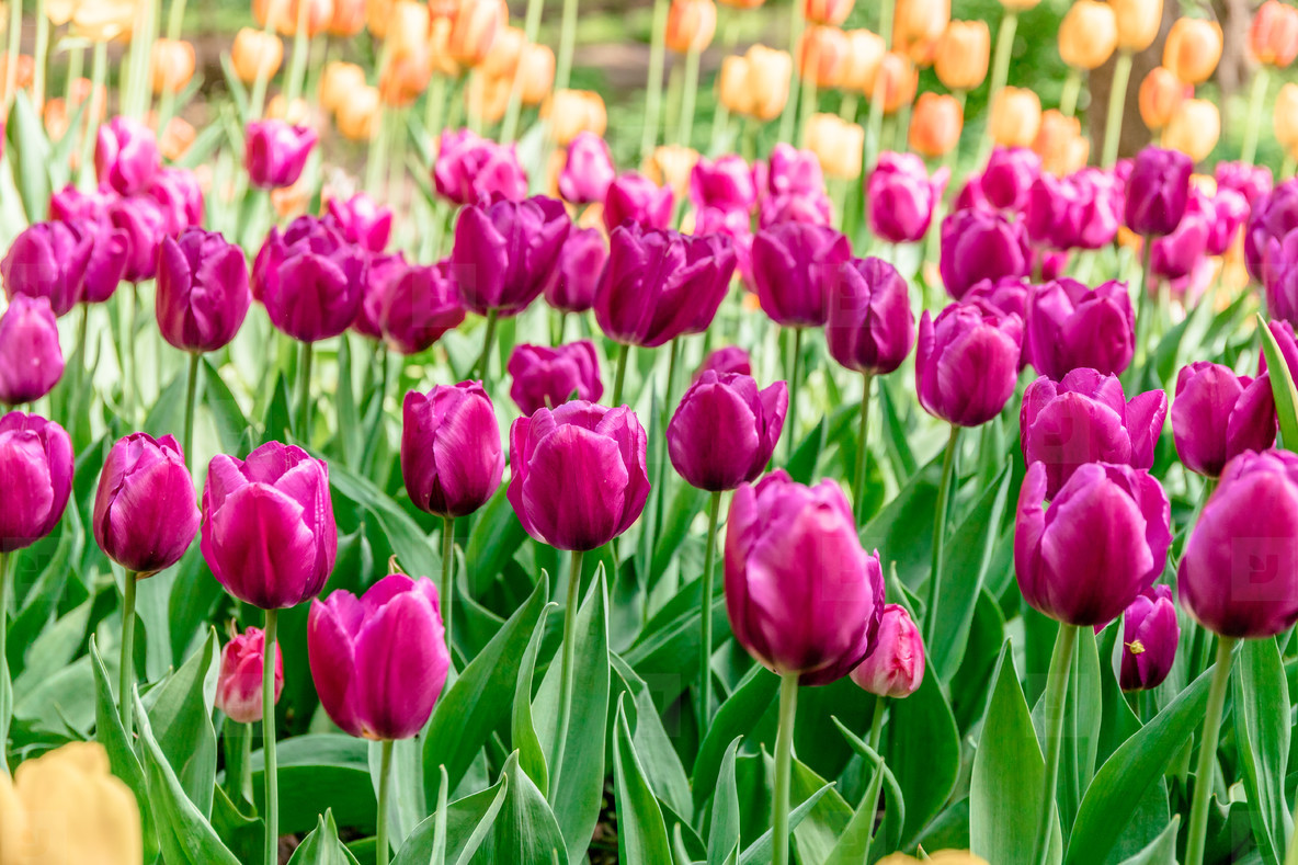 Full frame pink tulips spring background in a garden  The concept of bloom of nature