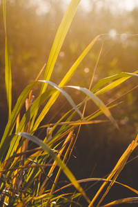 Dry reeds in the rays of sunset in a forest  Beautiful nature photography