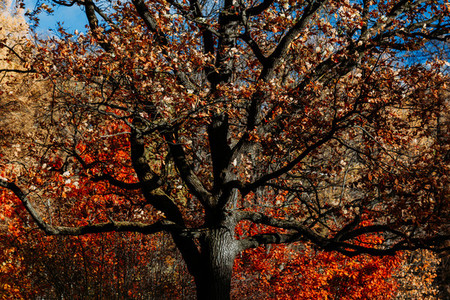 Big old oak tree in Autumn forest The concept of Nature and life