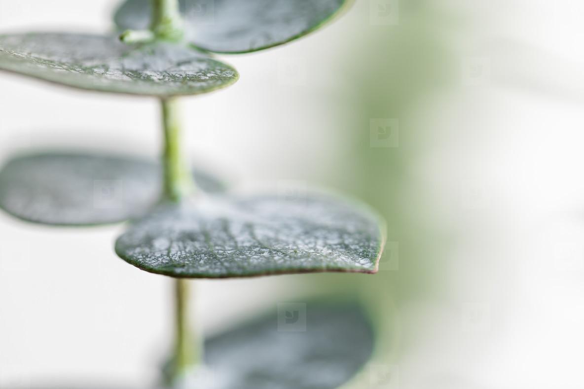 Macro photography of baby eucalyptus foliage against white wall  Nature background