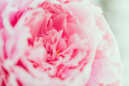 Macro photography of pink peony The concept of Nature beauty and blossom