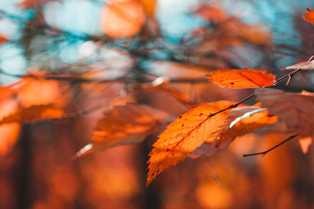 Red foliage in an autumn forest against sunlight   Macro nature photography