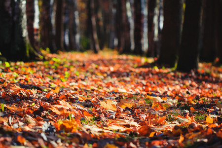 Footpath in the Autumn forest  Fallen leaves on the ground  nature background