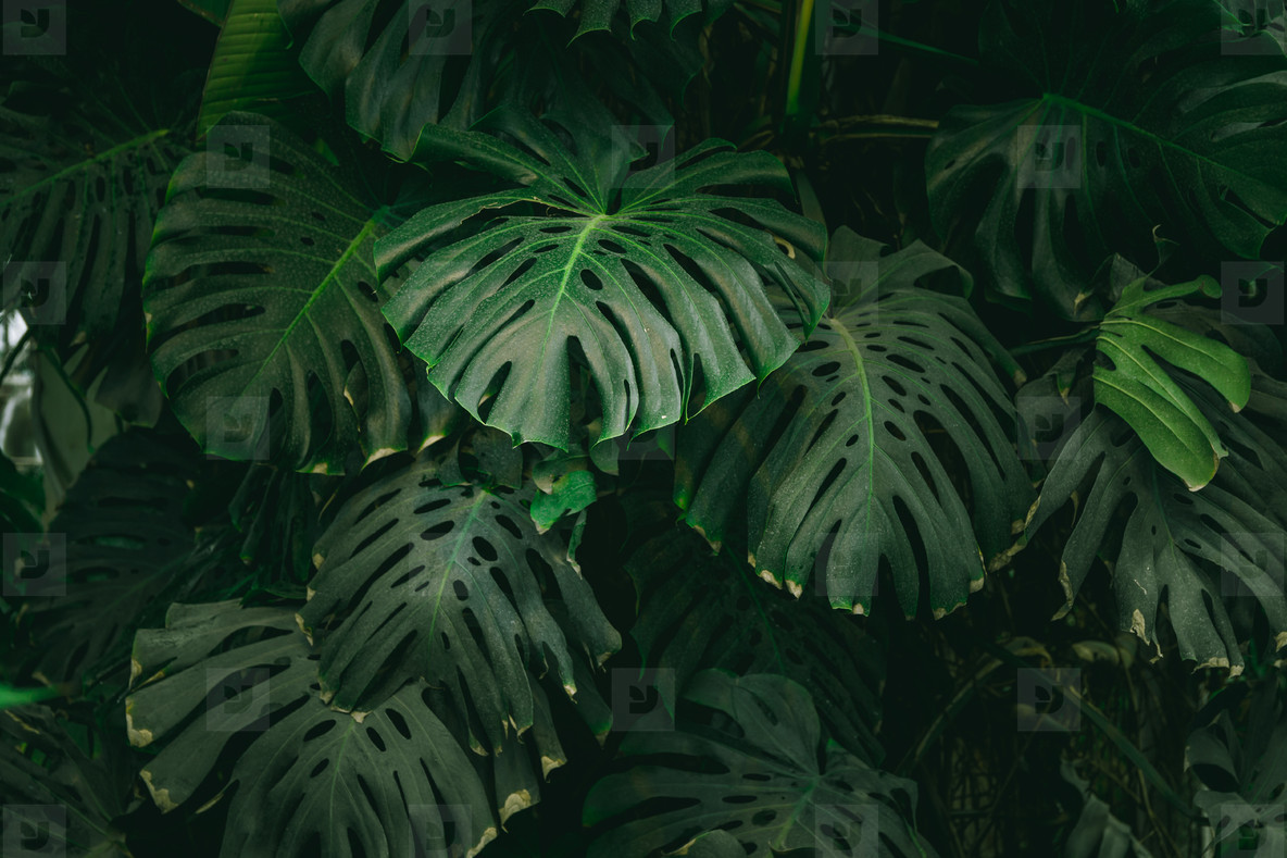 Photos Monstera Palm Leaves Background The 173750 Youworkforthem Background daun, pattern background with exotic tropical leaves. monstera palm leaves background the concept of tropics nature