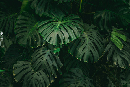 Monstera palm leaves background  The concept of tropics nature