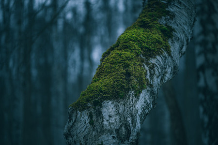 Moody birch tree with moss in spooky night forest  Nature macro photography  blue colouring