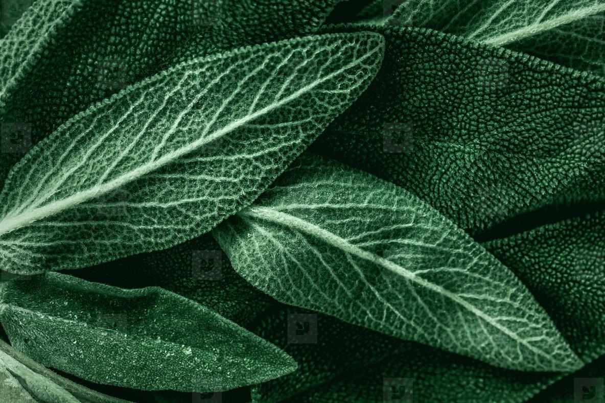 Macro photography of fresh sage  Concept of organic food