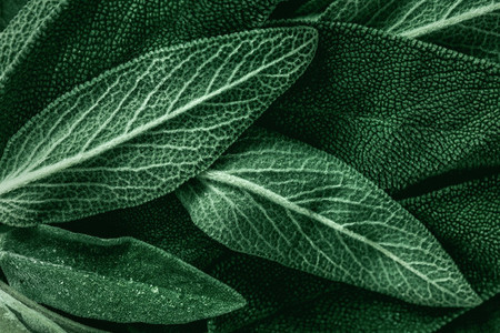 Macro photography of fresh sage  Concept of organic food