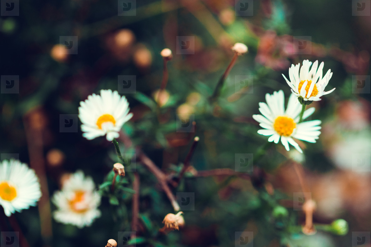 Camomile meadow nature background  Soft focus