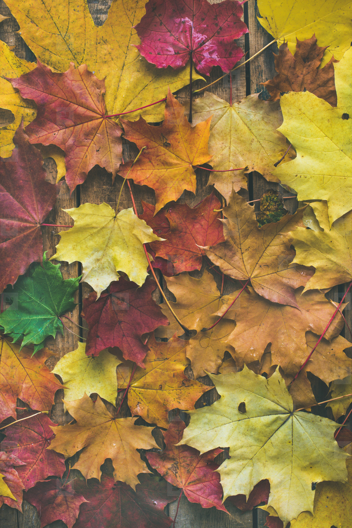 Flat lay of colorful fallen maple leaves on wooden background