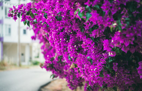 Wall covered with purple Bougainvillea Purple blooming Bougainvillea tree flowers