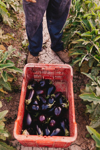 Young farmer man with a eggplants crate on the land