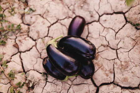 Foreground of aubergines over the land among plants
