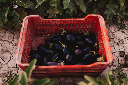 Foreground crate of eggplants over the land among plants