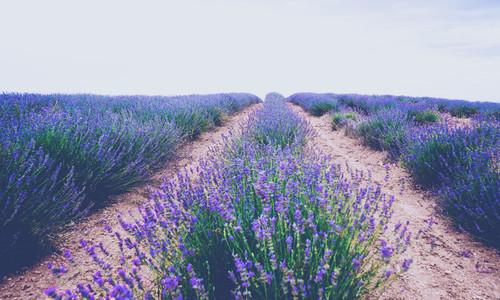 Beautiful lavender fields in bloom