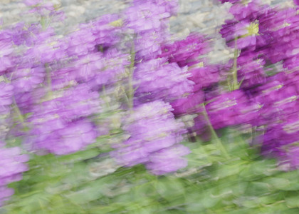 Blurred purple flowers 01