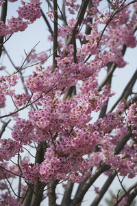 Close up pink cherry blossom tree in bloom 01