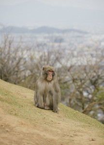 Japanese macaque on hillside 01