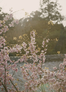 Pink cherry blossom tree in bloom Kyoto 01