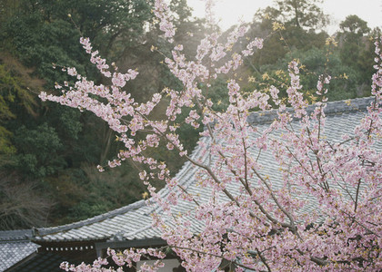 Pink cherry blossom tree in bloom 01