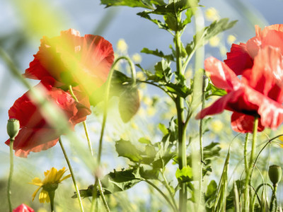 Close up red poppy flowers 01