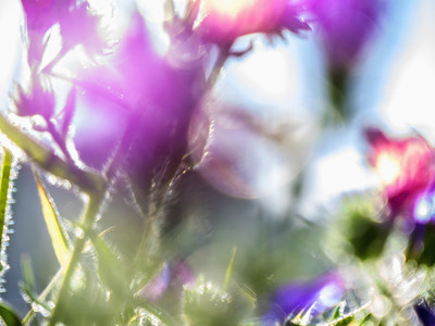 Extreme close up idyllic purple flowers 01